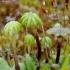 Paprastoji maršantija - Marchantia polymorpha | Fotografijos autorius : Romas Ferenca | © Macrogamta.lt | Šis tinklapis priklauso bendruomenei kuri domisi makro fotografija ir fotografuoja gyvąjį makro pasaulį.