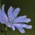 Paprastoji trūkažolė - Cichorium intybus   Fotografijos autorius : Agnė Našlėnienė   © Macrogamta.lt   Šis tinklapis priklauso bendruomenei kuri domisi makro fotografija ir fotografuoja gyvąjį makro pasaulį.
