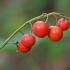 Paprastosios pakalnutės - Convallaria majalis vaisiai | Fotografijos autorius : Gintautas Steiblys | © Macrogamta.lt | Šis tinklapis priklauso bendruomenei kuri domisi makro fotografija ir fotografuoja gyvąjį makro pasaulį.