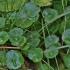 Pelkinė raistenė - Hydrocotyle vulgaris | Fotografijos autorius : Kęstutis Obelevičius | © Macrogamta.lt | Šis tinklapis priklauso bendruomenei kuri domisi makro fotografija ir fotografuoja gyvąjį makro pasaulį.