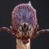Pievinė erkė - Dermacentor reticulatus | Fotografijos autorius : Žilvinas Pūtys | © Macrogamta.lt | Šis tinklapis priklauso bendruomenei kuri domisi makro fotografija ir fotografuoja gyvąjį makro pasaulį.