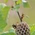 Pievinė popiervapsvė - Polistes nimphus   Fotografijos autorius : Agnė Našlėnienė   © Macrogamta.lt   Šis tinklapis priklauso bendruomenei kuri domisi makro fotografija ir fotografuoja gyvąjį makro pasaulį.