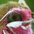 Pievinio sfinkso - Deilephila elpenor portretas  | Fotografijos autorius : Gintautas Steiblys | © Macrogamta.lt | Šis tinklapis priklauso bendruomenei kuri domisi makro fotografija ir fotografuoja gyvąjį makro pasaulį.
