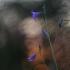 Pievinis katilėlis - Campanula patula | Fotografijos autorius : Agnė Našlėnienė | © Macrogamta.lt | Šis tinklapis priklauso bendruomenei kuri domisi makro fotografija ir fotografuoja gyvąjį makro pasaulį.