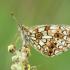 Pievinis perlinukas - Boloria selene | Fotografijos autorius : Žilvinas Pūtys | © Macrogamta.lt | Šis tinklapis priklauso bendruomenei kuri domisi makro fotografija ir fotografuoja gyvąjį makro pasaulį.