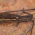 Pilkasis čiuožikas - Aquarius najas | Fotografijos autorius : Žilvinas Pūtys | © Macrogamta.lt | Šis tinklapis priklauso bendruomenei kuri domisi makro fotografija ir fotografuoja gyvąjį makro pasaulį.