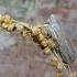 Pilkoji kukulija | Fotografijos autorius : Vitalijus Bačianskas | © Macrogamta.lt | Šis tinklapis priklauso bendruomenei kuri domisi makro fotografija ir fotografuoja gyvąjį makro pasaulį.
