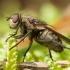 Pilkoji lavonmusė - Pollenia pediculata ♀ | Fotografijos autorius : Žilvinas Pūtys | © Macrogamta.lt | Šis tinklapis priklauso bendruomenei kuri domisi makro fotografija ir fotografuoja gyvąjį makro pasaulį.