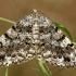 Pilkrudis žievėsprindis - Deileptenia ribeata | Fotografijos autorius : Ramunė Vakarė | © Macrogamta.lt | Šis tinklapis priklauso bendruomenei kuri domisi makro fotografija ir fotografuoja gyvąjį makro pasaulį.