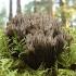 Pirštuotasis karpininkas - Thelephora palmata | Fotografijos autorius : Vytautas Gluoksnis | © Macrogamta.lt | Šis tinklapis priklauso bendruomenei kuri domisi makro fotografija ir fotografuoja gyvąjį makro pasaulį.