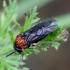 Pjūklelis - Eutomostethus ephippium | Fotografijos autorius : Romas Ferenca | © Macrogamta.lt | Šis tinklapis priklauso bendruomenei kuri domisi makro fotografija ir fotografuoja gyvąjį makro pasaulį.