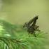 Plėšriamusė - Asilidae sp. | Fotografijos autorius : Vidas Brazauskas | © Macrogamta.lt | Šis tinklapis priklauso bendruomenei kuri domisi makro fotografija ir fotografuoja gyvąjį makro pasaulį.