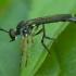 Plėšriamusė - Dioctria hyalipennis ♂ | Fotografijos autorius : Žilvinas Pūtys | © Macrogamta.lt | Šis tinklapis priklauso bendruomenei kuri domisi makro fotografija ir fotografuoja gyvąjį makro pasaulį.
