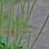 Plačialapis gyslotis - Plantago major | Fotografijos autorius : Kęstutis Obelevičius | © Macrogamta.lt | Šis tinklapis priklauso bendruomenei kuri domisi makro fotografija ir fotografuoja gyvąjį makro pasaulį.