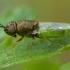 Plokščiamusė - Oplodontha viridula ♀ | Fotografijos autorius : Žilvinas Pūtys | © Macrogamta.lt | Šis tinklapis priklauso bendruomenei kuri domisi makro fotografija ir fotografuoja gyvąjį makro pasaulį.