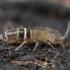 Podūra - Orchesella bifasciata | Fotografijos autorius : Žilvinas Pūtys | © Macrogamta.lt | Šis tinklapis priklauso bendruomenei kuri domisi makro fotografija ir fotografuoja gyvąjį makro pasaulį.