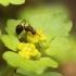Pražangialapė blužnutė - Chrysosplenium alternifolium | Fotografijos autorius : Vidas Brazauskas | © Macrogamta.lt | Šis tinklapis priklauso bendruomenei kuri domisi makro fotografija ir fotografuoja gyvąjį makro pasaulį.