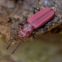 Pušinis plokščiavabalis - Cucujus haematodes | Fotografijos autorius : Kazimieras Martinaitis | © Macrogamta.lt | Šis tinklapis priklauso bendruomenei kuri domisi makro fotografija ir fotografuoja gyvąjį makro pasaulį.
