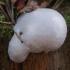 Pumpotaukšlinė retikuliarija - Reticularia lycoperdon | Fotografijos autorius : Žilvinas Pūtys | © Macrogamta.lt | Šis tinklapis priklauso bendruomenei kuri domisi makro fotografija ir fotografuoja gyvąjį makro pasaulį.