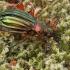Puošniažygis - Carabus auronitens | Fotografijos autorius : Gintautas Steiblys | © Macrogamta.lt | Šis tinklapis priklauso bendruomenei kuri domisi makro fotografija ir fotografuoja gyvąjį makro pasaulį.