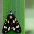 Puošnioji meškutė - Callimorpha dominula | Fotografijos autorius : Zita Gasiūnaitė | © Macrogamta.lt | Šis tinklapis priklauso bendruomenei kuri domisi makro fotografija ir fotografuoja gyvąjį makro pasaulį.