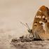 Puošnioji vaiva - Apatura ilia | Fotografijos autorius : Zita Gasiūnaitė | © Macrogamta.lt | Šis tinklapis priklauso bendruomenei kuri domisi makro fotografija ir fotografuoja gyvąjį makro pasaulį.