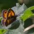 Pyronia tithonus | Fotografijos autorius : Eglė Vičiuvienė (Černevičiūtė) | © Macrogamta.lt | Šis tinklapis priklauso bendruomenei kuri domisi makro fotografija ir fotografuoja gyvąjį makro pasaulį.