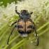 Raštuotasis auksavabalis - Trichius fasciatus | Fotografijos autorius : Žilvinas Pūtys | © Macrogamta.lt | Šis tinklapis priklauso bendruomenei kuri domisi makro fotografija ir fotografuoja gyvąjį makro pasaulį.