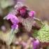 Raudonžiedė notrelė - Lamium purpureum   Fotografijos autorius : Ramunė Činčikienė   © Macrogamta.lt   Šis tinklapis priklauso bendruomenei kuri domisi makro fotografija ir fotografuoja gyvąjį makro pasaulį.