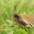 Raudonbuožis storagalvis - Thymelicus sylvestris | Fotografijos autorius : Mantas Kaupys | © Macrogamta.lt | Šis tinklapis priklauso bendruomenei kuri domisi makro fotografija ir fotografuoja gyvąjį makro pasaulį.