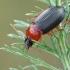 Raudonkrūtinis šukažygis - Calathus melanocephalus   Fotografijos autorius : Gintautas Steiblys   © Macrogamta.lt   Šis tinklapis priklauso bendruomenei kuri domisi makro fotografija ir fotografuoja gyvąjį makro pasaulį.