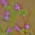 Raudonoji aklė - Galeopsis ladanum | Fotografijos autorius : Kęstutis Obelevičius | © Macrogamta.lt | Šis tinklapis priklauso bendruomenei kuri domisi makro fotografija ir fotografuoja gyvąjį makro pasaulį.