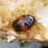 Raudonraištis kempinvabalis - Tritoma subbasalis | Fotografijos autorius : Romas Ferenca | © Macrogamta.lt | Šis tinklapis priklauso bendruomenei kuri domisi makro fotografija ir fotografuoja gyvąjį makro pasaulį.