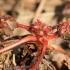 Raudonstiebis snaputis - Geranium robertianum | Fotografijos autorius : Ramunė Vakarė | © Macrogamta.lt | Šis tinklapis priklauso bendruomenei kuri domisi makro fotografija ir fotografuoja gyvąjį makro pasaulį.