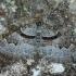 Rausvajuostė cidarija - Xanthorhoe designata | Fotografijos autorius : Žilvinas Pūtys | © Macrogamta.lt | Šis tinklapis priklauso bendruomenei kuri domisi makro fotografija ir fotografuoja gyvąjį makro pasaulį.