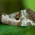 Rausvasis pelėdgalviukas - Elaphria venustula | Fotografijos autorius : Žilvinas Pūtys | © Macrogamta.lt | Šis tinklapis priklauso bendruomenei kuri domisi makro fotografija ir fotografuoja gyvąjį makro pasaulį.