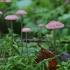 Rausvoji šalmabudė - Mycena rosella | Fotografijos autorius : Vytautas Gluoksnis | © Macrogamta.lt | Šis tinklapis priklauso bendruomenei kuri domisi makro fotografija ir fotografuoja gyvąjį makro pasaulį.