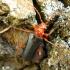 Dvispalvis drevininkas - Rhamnusium bicolor | Fotografijos autorius : Vitalii Alekseev | © Macrogamta.lt | Šis tinklapis priklauso bendruomenei kuri domisi makro fotografija ir fotografuoja gyvąjį makro pasaulį.
