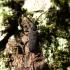 Rusvakojis juodūnas - Ropalopus macropus | Fotografijos autorius : Vitalii Alekseev | © Macrogamta.lt | Šis tinklapis priklauso bendruomenei kuri domisi makro fotografija ir fotografuoja gyvąjį makro pasaulį.