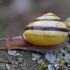 Rudalūpė dryžė - Cepaea nemoralis | Fotografijos autorius : Romas Ferenca | © Macrogamta.lt | Šis tinklapis priklauso bendruomenei kuri domisi makro fotografija ir fotografuoja gyvąjį makro pasaulį.
