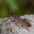 Rudasis gaisrasekis - Arhopalus rusticus | Fotografijos autorius : Žilvinas Pūtys | © Macrogamta.lt | Šis tinklapis priklauso bendruomenei kuri domisi makro fotografija ir fotografuoja gyvąjį makro pasaulį.