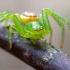 Rudasis lapavoris - Diaea dorsata | Fotografijos autorius : Oskaras Venckus | © Macrogamta.lt | Šis tinklapis priklauso bendruomenei kuri domisi makro fotografija ir fotografuoja gyvąjį makro pasaulį.