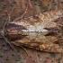 Rudasis pašakninis pelėdgalvis - Apamea crenata | Fotografijos autorius : Žilvinas Pūtys | © Macrogamta.lt | Šis tinklapis priklauso bendruomenei kuri domisi makro fotografija ir fotografuoja gyvąjį makro pasaulį.