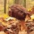 Rudeninis bobausis - Gyromitra infula | Fotografijos autorius : Vytautas Gluoksnis | © Macrogamta.lt | Šis tinklapis priklauso bendruomenei kuri domisi makro fotografija ir fotografuoja gyvąjį makro pasaulį.