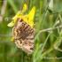 Rusvasis dobilinukas (Euclidia glyphica) | Fotografijos autorius : Aleksandras Naryškin | © Macrogamta.lt | Šis tinklapis priklauso bendruomenei kuri domisi makro fotografija ir fotografuoja gyvąjį makro pasaulį.