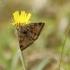 Rusvasis dobilinukas - Euclidia glyphica | Fotografijos autorius : Vidas Brazauskas | © Macrogamta.lt | Šis tinklapis priklauso bendruomenei kuri domisi makro fotografija ir fotografuoja gyvąjį makro pasaulį.