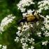 Dėmėtasis grakštenis - Rutpela maculata (Poda, 1761) | Fotografijos autorius : Vitalii Alekseev | © Macrogamta.lt | Šis tinklapis priklauso bendruomenei kuri domisi makro fotografija ir fotografuoja gyvąjį makro pasaulį.