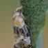 Rykšteninis siaurasparnis lapsukis - Phalonidia curvistrigana | Fotografijos autorius : Arūnas Eismantas | © Macrogamta.lt | Šis tinklapis priklauso bendruomenei kuri domisi makro fotografija ir fotografuoja gyvąjį makro pasaulį.