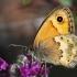 Kretinis satyriukas - Coenonympha thyrsis | Fotografijos autorius : Vaida Paznekaitė | © Macrogamta.lt | Šis tinklapis priklauso bendruomenei kuri domisi makro fotografija ir fotografuoja gyvąjį makro pasaulį.