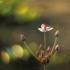 Skėtinis bėžis - Butomus umbellatus | Fotografijos autorius : Vidas Brazauskas | © Macrogamta.lt | Šis tinklapis priklauso bendruomenei kuri domisi makro fotografija ir fotografuoja gyvąjį makro pasaulį.